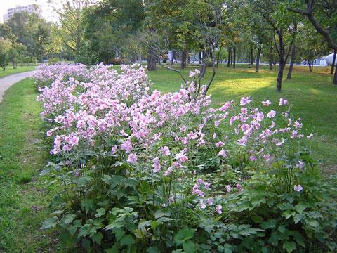 2006秋明菊