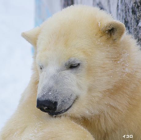 円山動物園 ホッキョクグマ イコロ