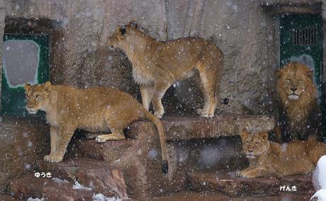 円山動物園-ライオン