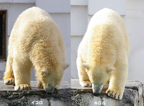 円山動物園 ホッキョクグマ イコロ キロル