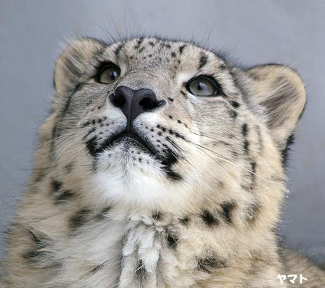 円山動物園 ユキヒョウ ヤマト ユッコ