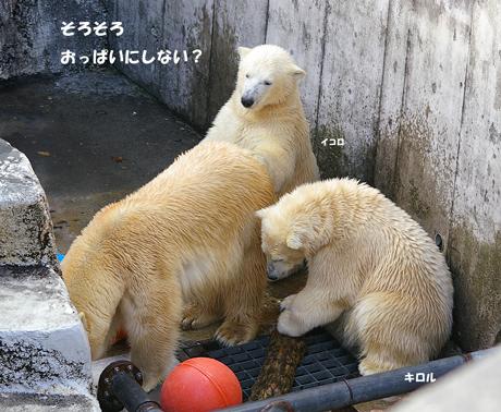 円山動物園 ホッキョクグマ