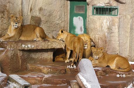 円山動物園ライオン リッキー げんき