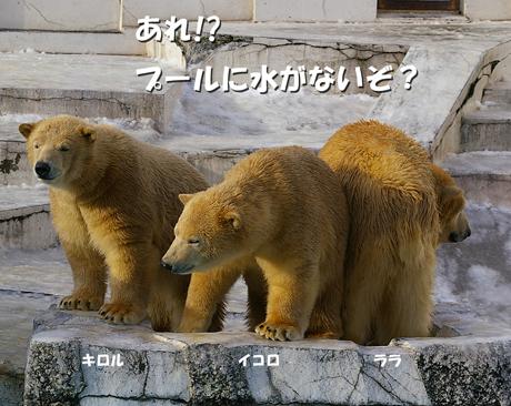 円山動物園 ホッキョクグマ イコロ キロル ララ