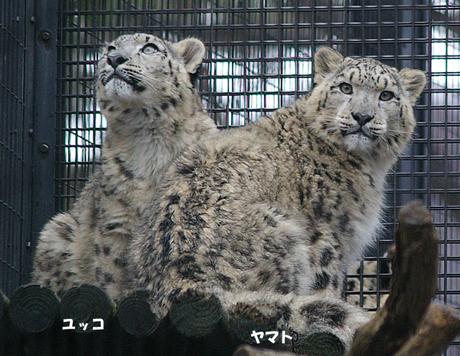 円山動物園 ヤマト ユッコ