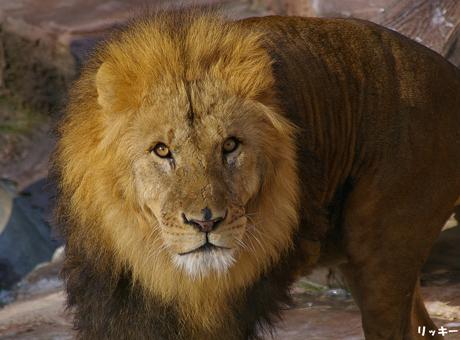 円山動物園 ライオン リッキー