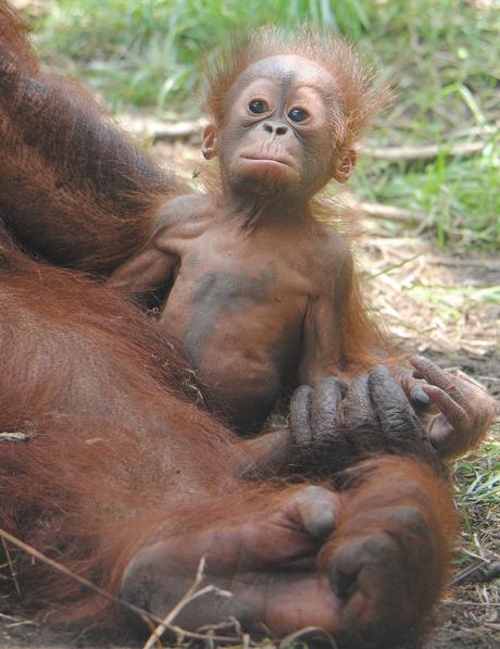 オランウータン赤ちゃん