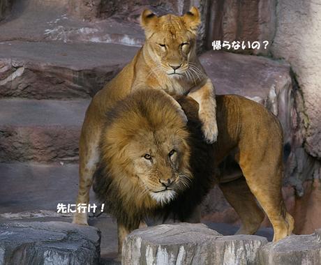 円山動物園 ライオン