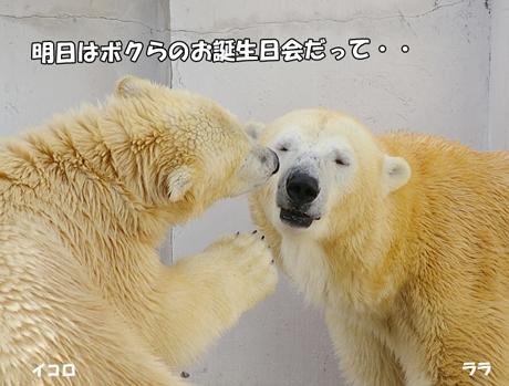 円山動物園 ホッキョクグマ ララ イコロ