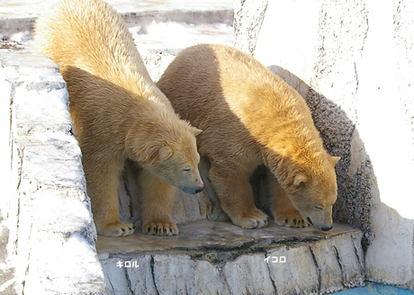 円山動物園 イコロ キロル