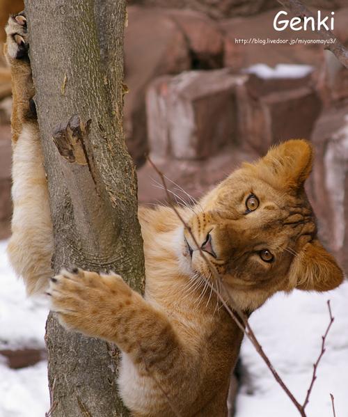 ライオン げんき