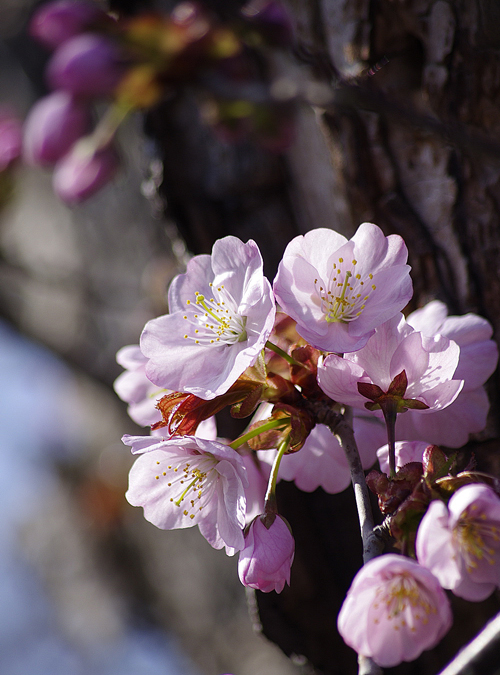 サル山の桜