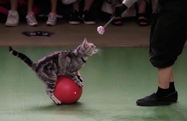 ネコのショー